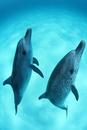 砂地の海底から海面に向かって泳ぐバハマのイルカたち