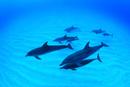 砂地の海底を泳ぐタイセイヨウマダライルカの群れ