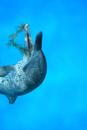 海草で遊ぶ泳ぐイルカ