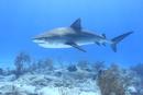 タイガーシャークと美しい海 25356001870| 写真素材・ストックフォト・画像・イラスト素材|アマナイメージズ