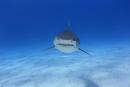 正面から迫ってくるタイガーシャーク 25356001872| 写真素材・ストックフォト・画像・イラスト素材|アマナイメージズ