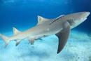 美しい海を泳ぐレモンシャーク 25356001887| 写真素材・ストックフォト・画像・イラスト素材|アマナイメージズ