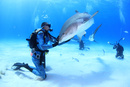 タイガーシャークに餌付けするダイバー 25356001899| 写真素材・ストックフォト・画像・イラスト素材|アマナイメージズ
