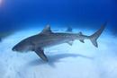 タイガーシャークと美しい海 25356001906| 写真素材・ストックフォト・画像・イラスト素材|アマナイメージズ