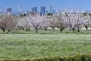 シロツメクサと梅の畑とさいたま新都心ビル群 見沼田んぼ