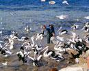 ペリカンの餌付け キングスコート港