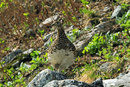針ノ木岳の雷鳥