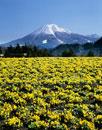 ビオラの花咲くとっとり花回廊より望む大山