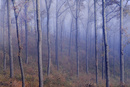 クヌギ林と朝霧