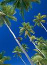 ヤシの木登り キリバス共和国