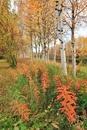 白樺とヤナギランの紅葉