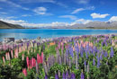 ルピナス咲くテカポ湖とサザンアルプス