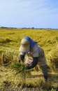 新潟の稲刈り風景