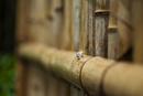 竹垣を這うカタツムリ