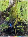 苔むした木の根元にとまるオオルリのオス