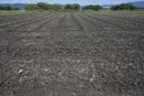 大豆畑の定点13−1(種まきから8日目、発芽が見られる)