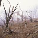 酸性雨で立ち枯れたブナ林