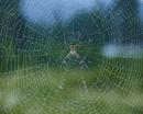 コガネグモ 雨の日の巣