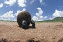 ウェディングボールをころがすアフリカタマオシコガネ