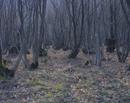 林床に広がるカタクリの群落