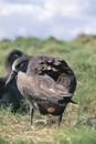 クロアシアホウドリの産卵