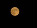 満月をバックに飛ぶアブラコウモリ