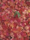 ハウチワカエデの落葉とクマイザサ