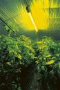 害虫の嫌う黄色い蛍光灯をつけたピーマンの温室