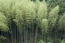 モウソウチクの竹林