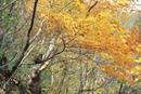 黄葉の森と樹上のニホンザル