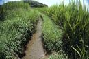 水が無くなってきた用水路 水溜りに残されたメダカ