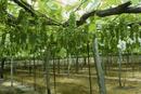 ブドウ畑 品種:デラウェア