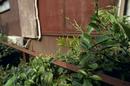 アゲハの卵が産み付けられた庭先のミカン