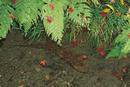 紅葉散る川の中のオオサンショウウオ