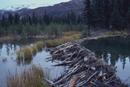 ビーバーが作ったダム