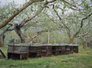 ミツバチの巣箱 リンゴ畑
