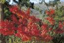 紅葉したモミジの木に座るニホンザル