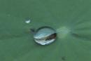 土砂降りでハスの葉の上に跳ね上げられ、水玉に閉じこめられたメ