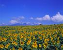 ヒマワリ 畑