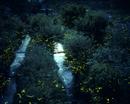 ゲンジボタルの群飛 光跡
