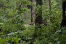 森の中を巣穴に向かうキタキツネの母親