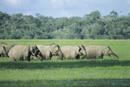 野生のアジアゾウの群れ
