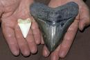 ホホジロザメ(左)とメガロドン(左)の歯