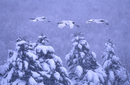 降雪の中を飛ぶタンチョウの親子