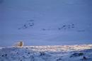 雪原にたたずむタイリクオオカミ