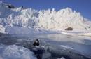 溶けた氷の間から顔を出すアゴヒゲアザラシ