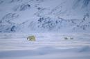 メスのホッキョクグマ(シロクマ)とその後をついて歩く2頭の子