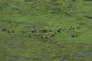 野生馬ブランビー種