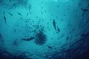 海の藻屑に集まる小魚の群れとそれを狙うマグロ、イルカ、鳥
