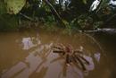 アマゾン川の洪水で水浸しになった巣から逃げ出したペルビアンピ